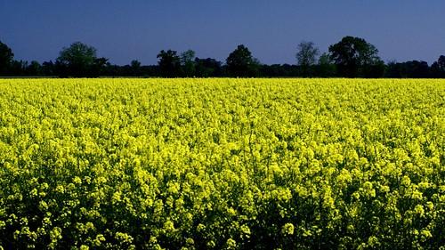 flowers yellow 3d farm fields crops