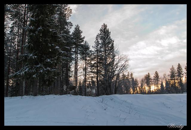 Laponia iglú cristal mina amatistas sauna finlandesa - Los primeros renos en libertad