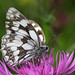 Marbled White on knapweed by NRE