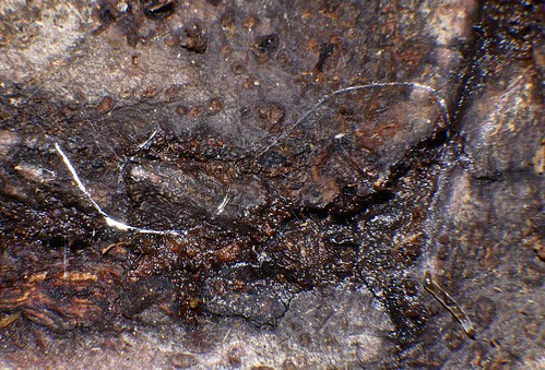 slime tube and caterpillar Diptera larva most likely a fungus gnat Keroplatidae Airlie Beach rainforest P1100022
