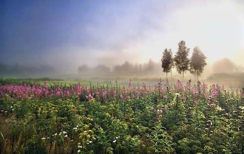 mist fog day willowherb