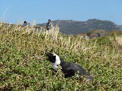 Südafrika 2013-01 089 Boulders Pinguinkolonie