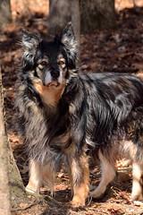 lapponian herder(0.0), pet(0.0), miniature australian shepherd(0.0), australian shepherd(0.0), dog breed(1.0), animal(1.0), dog(1.0), vulnerable native breeds(1.0), bohemian shepherd(1.0), carnivoran(1.0),