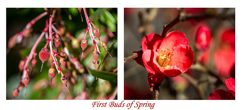 Diptych #5 - First Buds of Spring