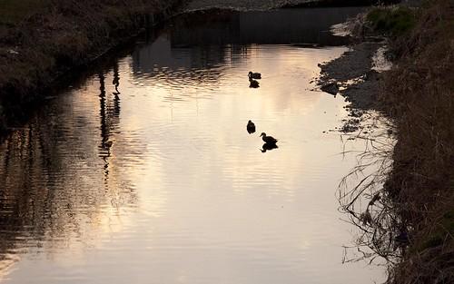 夕焼けの川と鴨