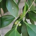 Garden Inventory: Ficus benjamina - 2