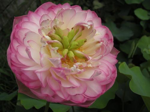 Nelumbo 'Table Lotus'  (rosa carico, semidoppio)