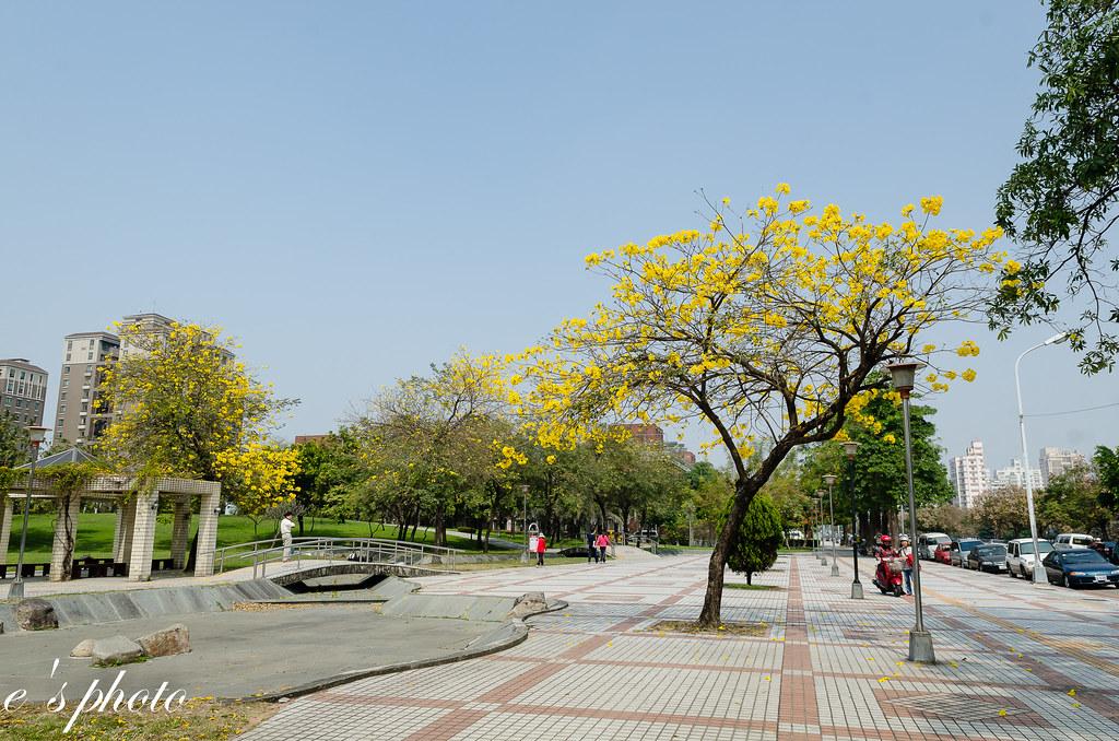 台中 豐富公園 3月 黃花風鈴木 木棉
