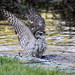 sparrowhawk bathing  IMG_2039 by harrybursell