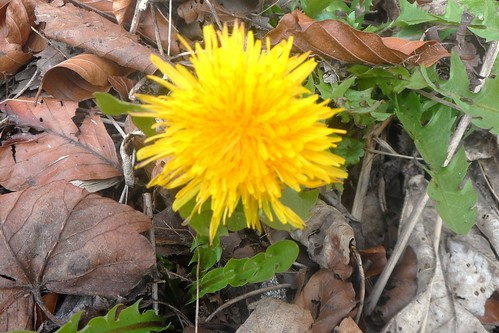 First dandelion of 2013