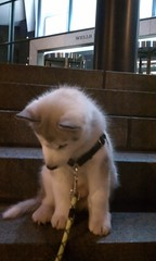 [Scrapbook] Link the Siberian Husky - Page 3 8533318974_b3899bf019_m