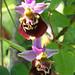 Ophrys fuciflora (David Watson)