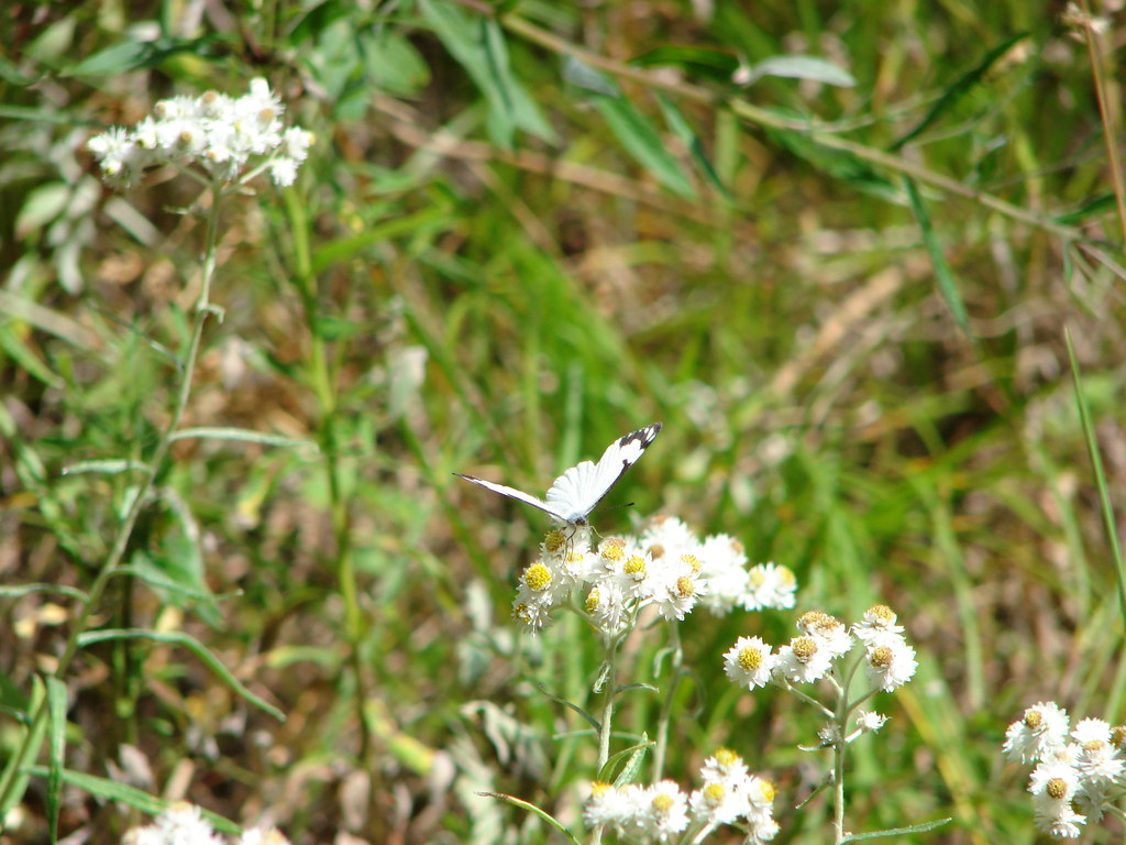 Pine white butterfly on pearly everlasting