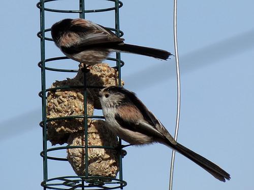 Long-tailed Tit - Aegithalos caudatu