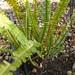 Garden Inventory: Sword Fern (Polystichum munitum) - 1