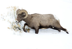 Big Horn Ram going through the snow