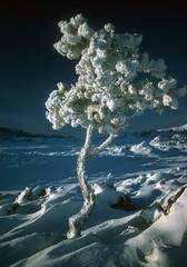 Winter Rim Ice on tree