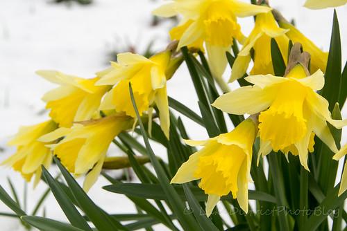 雪の中で咲く水仙の花