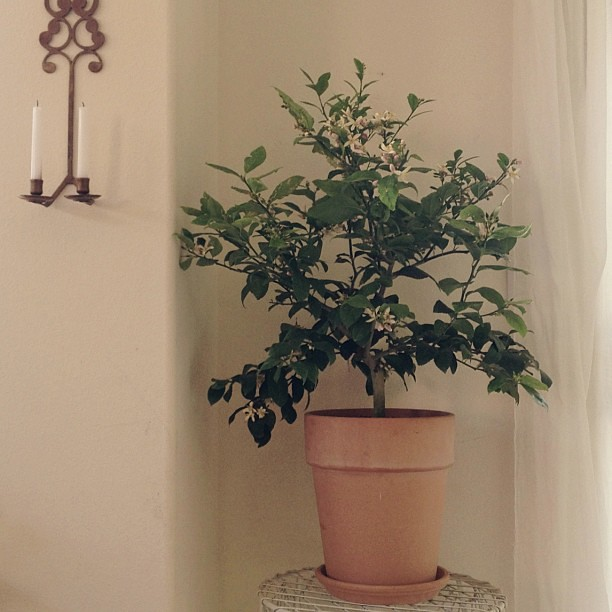 Why yes I did ask for citrus trees. Meet my lemon beauty. She smells wonderful.  #happybirthdaytome