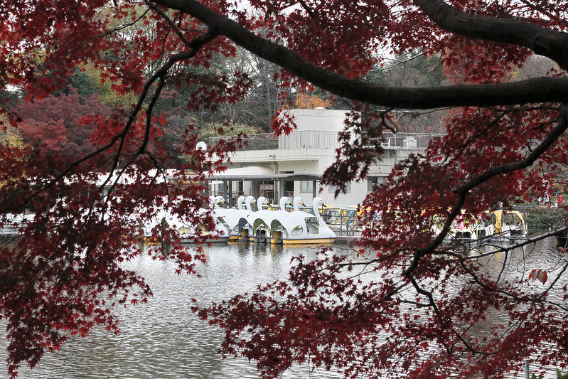 Swan boats and autumn leaves in Inokashira Park