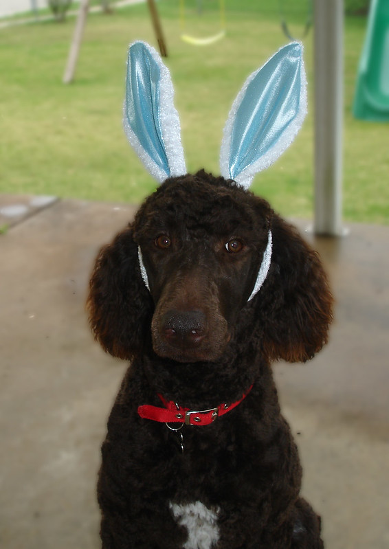 Happy Easter From The Spring Poodle