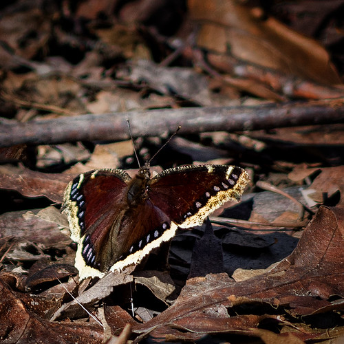 Spring Signs: Mourning Cloak Butterfly