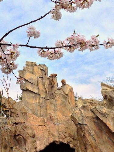 Tokyo's Ueno Park Cherry Blossom Amazingness