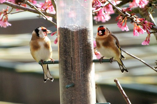 Goldfinches on the niger seeds