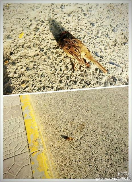 西安惊现死鸟