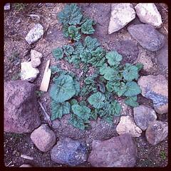 Good morning rhubarb! #rhubarb #garden