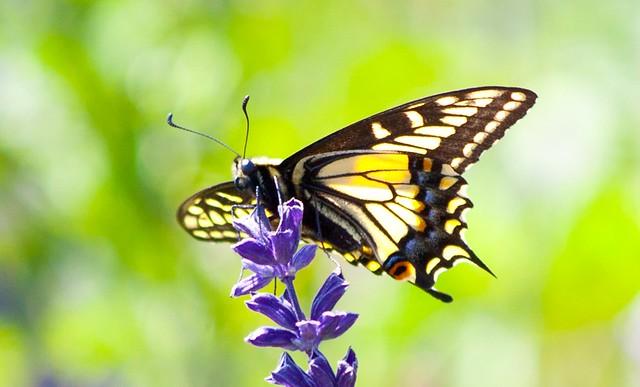 LA Butterfly