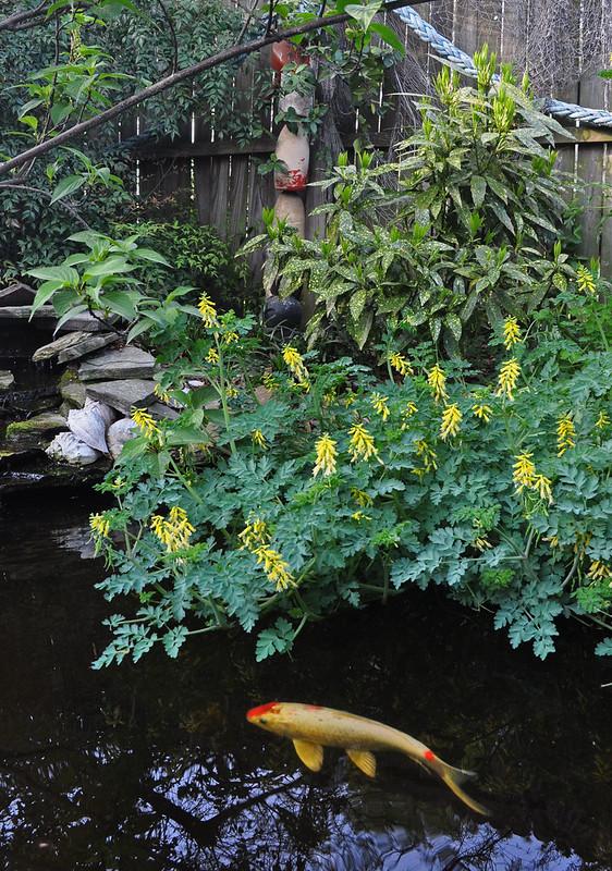 Corydalis heterocarpa var. japonica