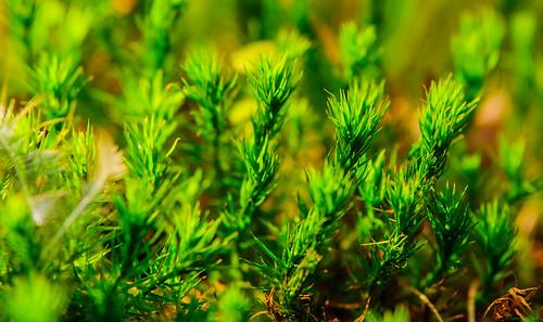 wood macro leaf moss sony tamron 70200 moos 70200mm a700 bryophytina