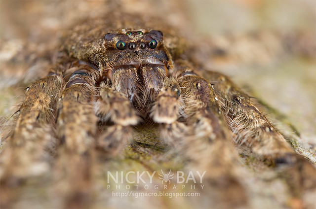 Huntsman Spider (Pandercetes sp.) - DSC_0922