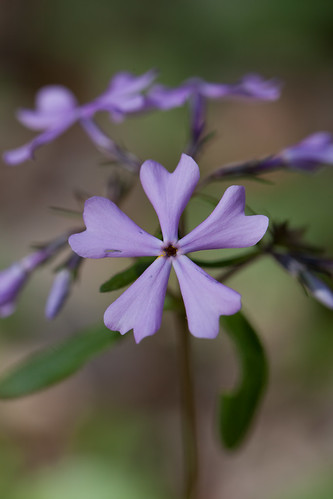 WILD PHLOX by conniee4 aka Connie Etter