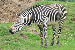 animal, zebra, mammal, fauna, grassland, safari, wildlife,