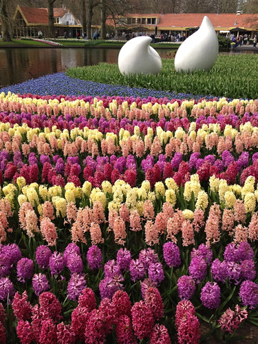 Kukenhof - multi-coloured hyacinths