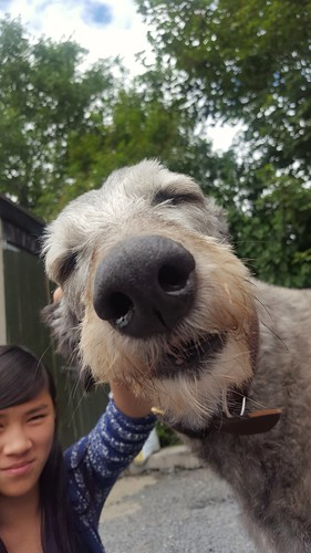 Big love for our Scottish Deerhound buddy / Ballymurphy, Ireland