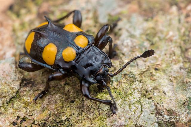Handsome fungus beetle (Spathomeles sp.) - DSC_9681