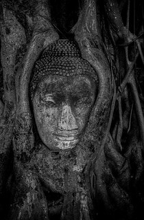 buddah head in tree