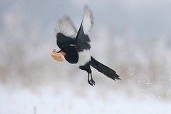 animal, winter, wing, fauna, beak, eurasian magpie, bird,