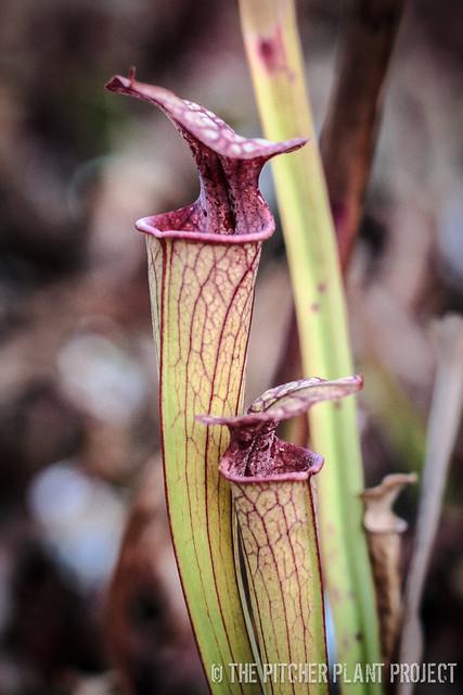 Sarracenia ((rubra x oreophila) x flava v. rugelii) x 'Adrian Slack' - Select Clone