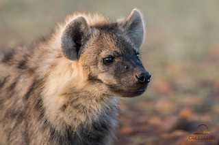Face to Face with Juvenile Spotted Hyena