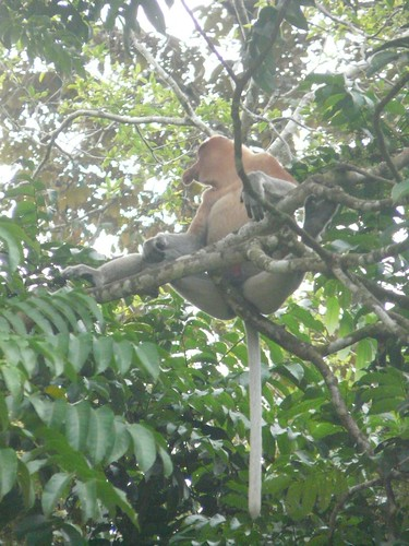Relaxing Male Proboscis Monkey