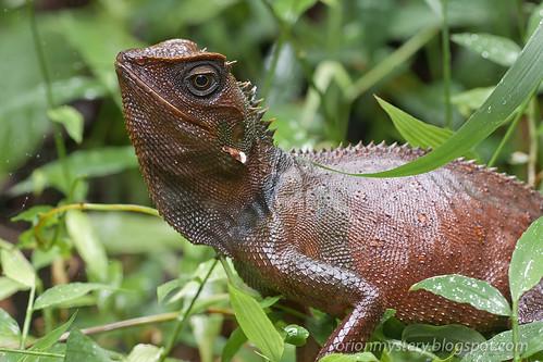 IMG_9423 copy Titiwangsa horned lizard, Acanthosaura titiwangsaensis