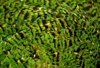 Close up of kakapo feathers