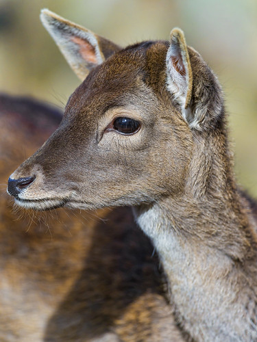 Portrait of a female deer by Tambako the Jaguar