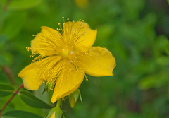 flower, yellow, plant, macro photography, wildflower, flora, rose of sharon, close-up, petal,