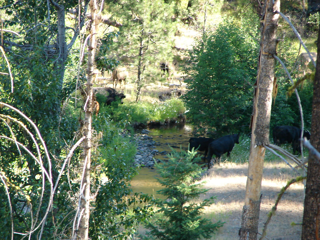 Cows along Mill Creek