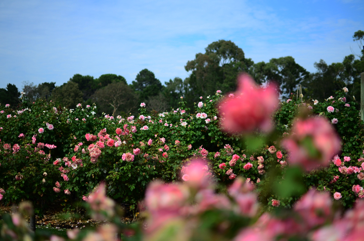 wm rose garden